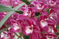 Magenta Orchid Stock Image