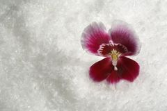 Magenta orchid flower and snow Royalty Free Stock Photo