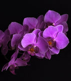 Magenta orchid flowers on black. Branch of magenta orchid flowers on black background Royalty Free Stock Photo