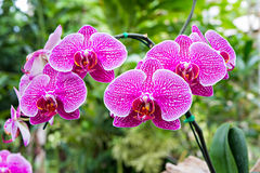 Magenta orchid flowers Stock Photo