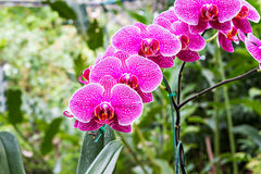 Magenta orchid flowers Stock Image