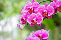 Magenta orchid flowers Royalty Free Stock Image