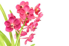 Magenta orchid Royalty Free Stock Photography
