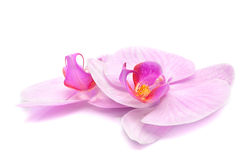 Magenta orchid Stock Photography