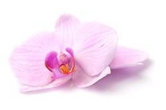 Magenta orchid Stock Photos