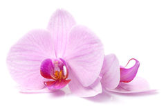 Magenta orchid Royalty Free Stock Image