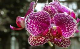 Magenta orchidea Fotografia Stock