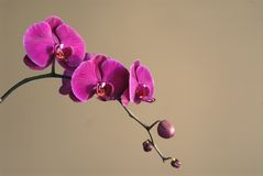 Magenta Orchideeën Stock Afbeelding