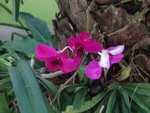 Magenta Orchidee Stock Foto's