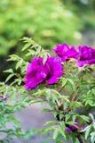 Magenta peony  blossom in springtime Stock Photos