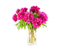 Magenta peony in the bowl Stock Images