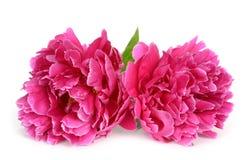 Magenta Peony flower Stock Photography