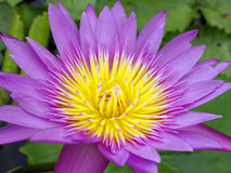 Magenta petals waterlily Stock Photo