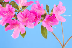 Magenta pink azalea on blue Stock Images