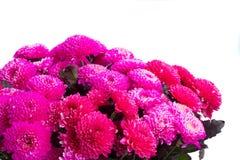 Blue chrysanthemum flowers Stock Images