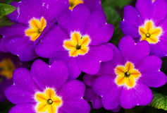 Magenta primrose with yellow hearts Royalty Free Stock Photography