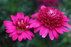Magenta-purple Marguerite Daisies flowers Stock Image