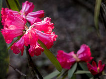 Magenta rhododendrons. Beautiful flowers in sunshine Stock Images