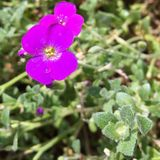 Magenta rock cress flower stock image