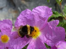 A magenta rock rose flower with a bee Royalty Free Stock Images