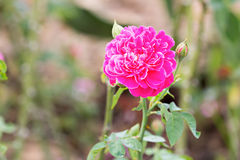 Magenta rose Stock Photography
