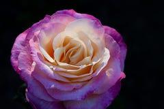 Magenta Rose Close-up Royalty Free Stock Image