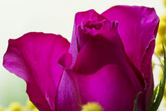 Magenta rose Stock Photos