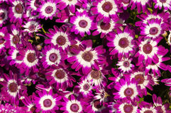Magenta spring flowers background Royalty Free Stock Image