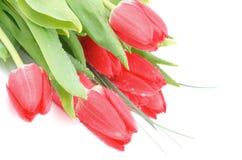 Magenta Spring Tulips Royalty Free Stock Photo