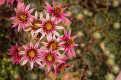 Magenta, Star-Shaped Flower Blooms of Hens and Chicks Plant Stock Photo