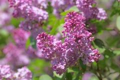 Syringa vulgaris Flower. Magenta Syringa vulgaris common lilac blooming in the spring season stock photography