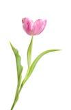 Magenta tulip Stock Photos