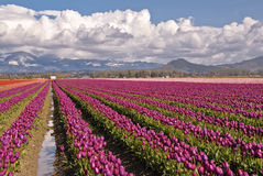 Magenta Tulip Field Royalty Free Stock Photography