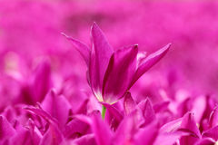 Magenta tulip Royalty Free Stock Photo