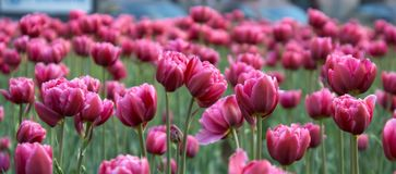 Magenta tulips Stock Images
