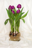 Magenta tulips growing in water in a glass vase - bulbs and root Stock Photography