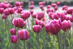 Magenta tulpen stock afbeelding