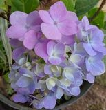 Magenta. Ungu bunga seru stock image