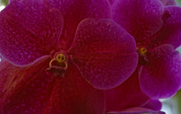 Magenta Vanda Orchid with yellow face. Interesting orchid with face in stamen. It is a Vanda orchid magenta in color. Specimen at National Botanical Gardens in Stock Photography