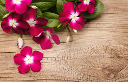 Magenta Vinca Flowers on wooden background Royalty Free Stock Photo