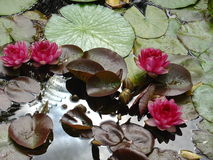 Magenta water lily's. Beautiful image of pink & magenta water lily's and lily pads Stock Photos