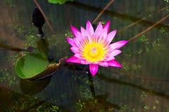 Magenta waterlily en la charca Imagenes de archivo