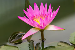 Magenta waterlily en la charca Foto de archivo libre de regalías