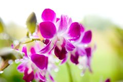 Magenta and white denrobium outdoor Stock Photography