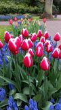 Magenta white rimmed tulips surrounded by Muscari botryoides Royalty Free Stock Photos