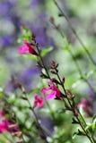 Magenta Wildflowers в поле Калифорнии Стоковое фото RF