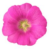 Magenta yellow flower malva isolated on white background with clipping path. Flower bud close up. Nature stock photo