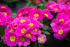 Magenta and yellow flowering Primula plants Royalty Free Stock Photos