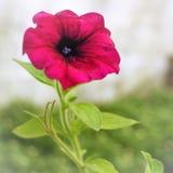 magentafärgad blomma Royaltyfria Foton
