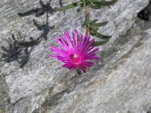 magentafärgad blomma Fotografering för Bildbyråer